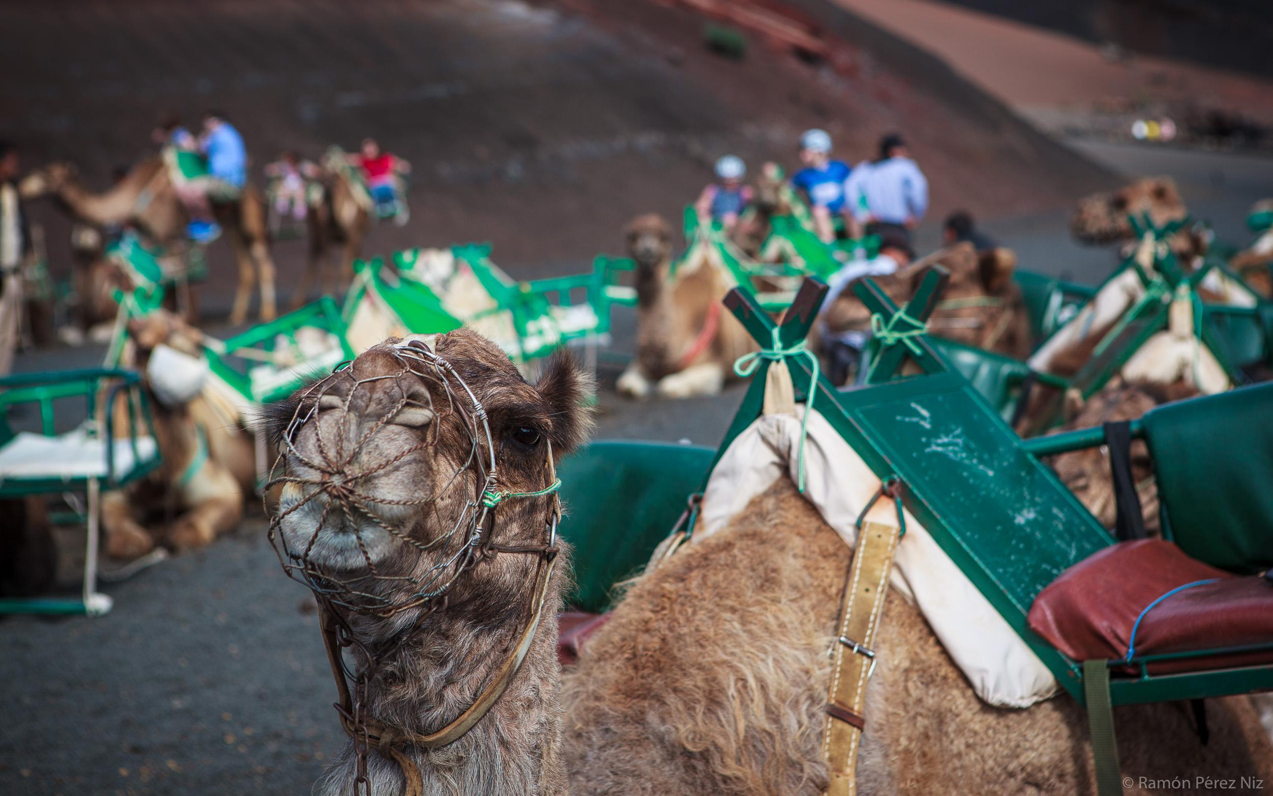 Foto de Ramón Pérez Niz. Camellos en Timanfaya
